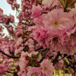 Цвітіння сакури, це улюблений період року на Закарпатті для десятків тисяч туристів. Чи буде Сакура-фест Ужгород 2021?